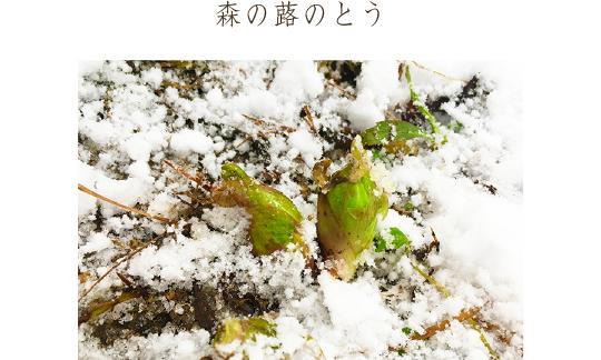 森の蕗のとう